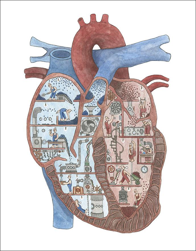 cuore-sezionato